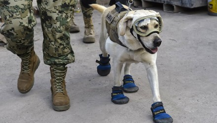 Frida, a rescue dog belonging to the Mexican Navy, with her handler Israel Arauz Salinas, takes part in the effort to look for people trapped at the Rebsamen school in Mexico City, on September 22, 2017, three days after the devastating earthquake that hit central Mexico. / AFP PHOTO / OMAR TORRES